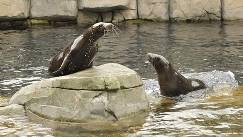 Zwei Seebären im Zoo.