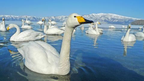 Singschwäne auf einem See.