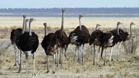 Afrikanischer Strauß (Struthio camelus), Gruppe von Jungvögeln, Etosha, Namibia.