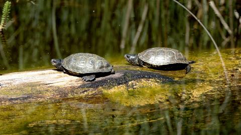 Zwei Sumpfschildkröten am Wasser