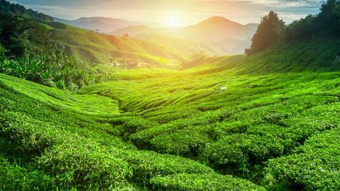 Teeplantage in Sri Lanka.