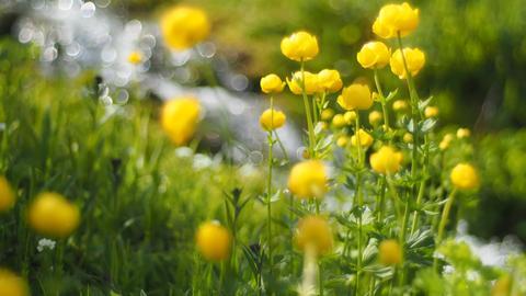 Trollblumen gedeihen prächtig auf den Feuchtwiesen im Chiemgau.