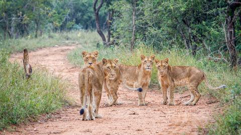 Vier junge Löwen.