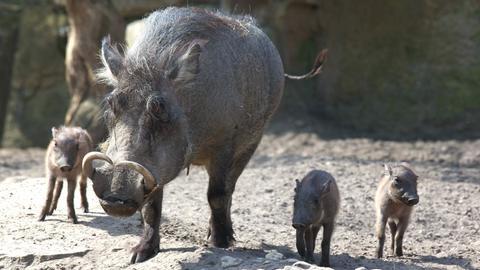 Warzenschwein mit drei Ferkeln