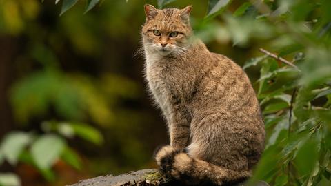 Im Pfälzerwald ist die Wildkatze heimisch.
