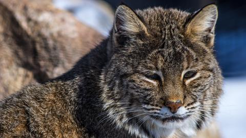 Eine getigerte Wildkatze