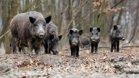Wildschweinrudel im Wald