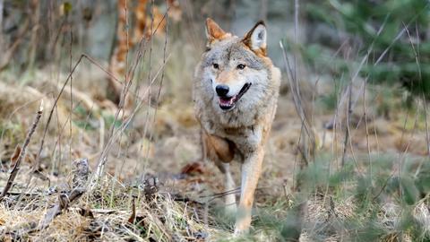 Ein Wolf durchstreift den Wald