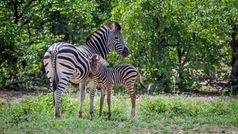 Zebrastute mit Fohlen