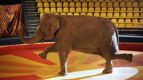 Elefant in Manege